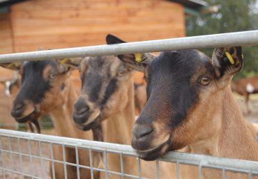 Dernières semaines pour nos fromages de chèvre